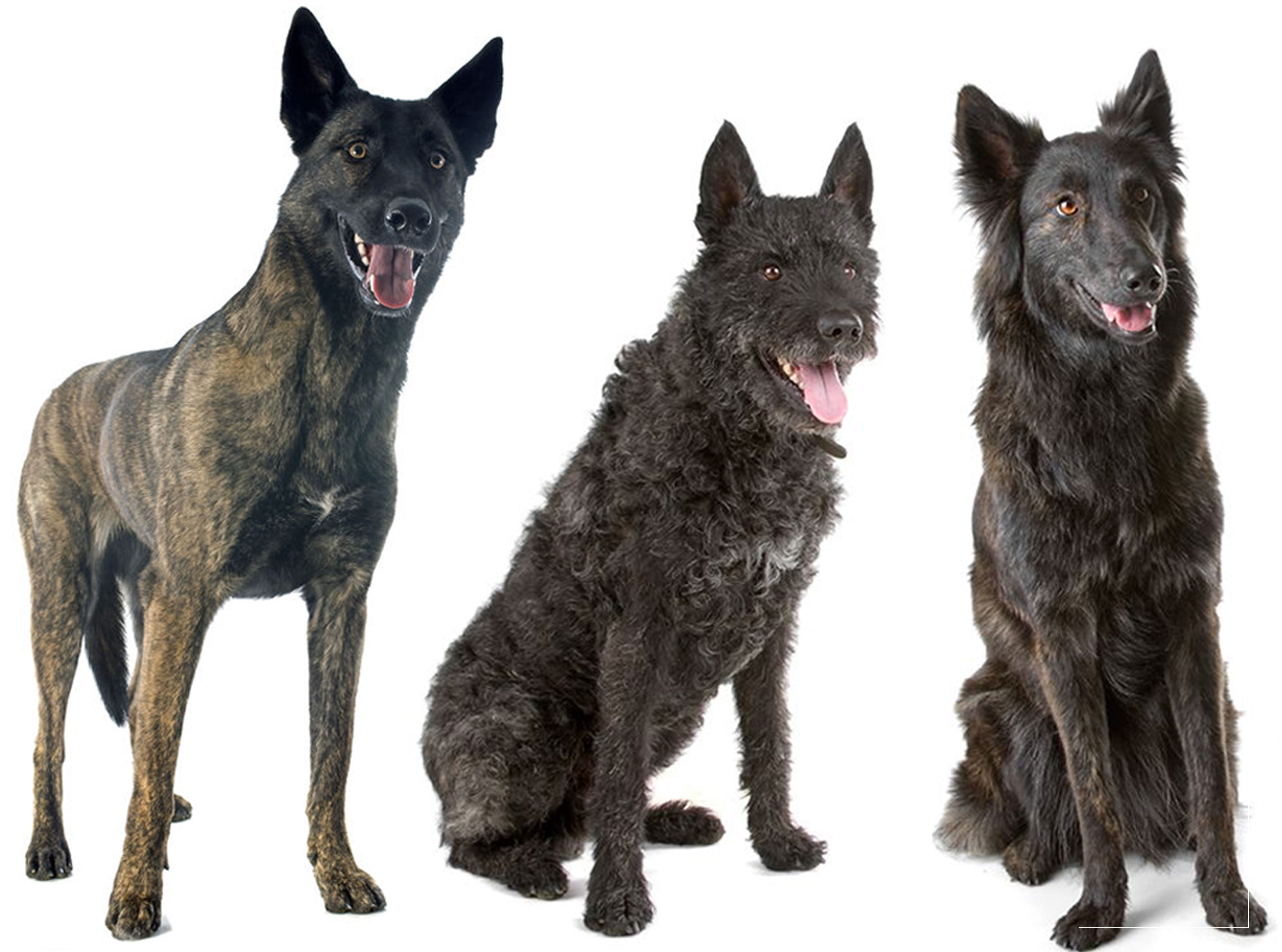 Three Dutch Shepherds