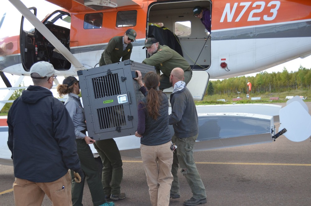 Scientists load one of the two wolves into the aircraft for relocation