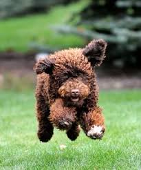 Flying Portuguese Water Dog