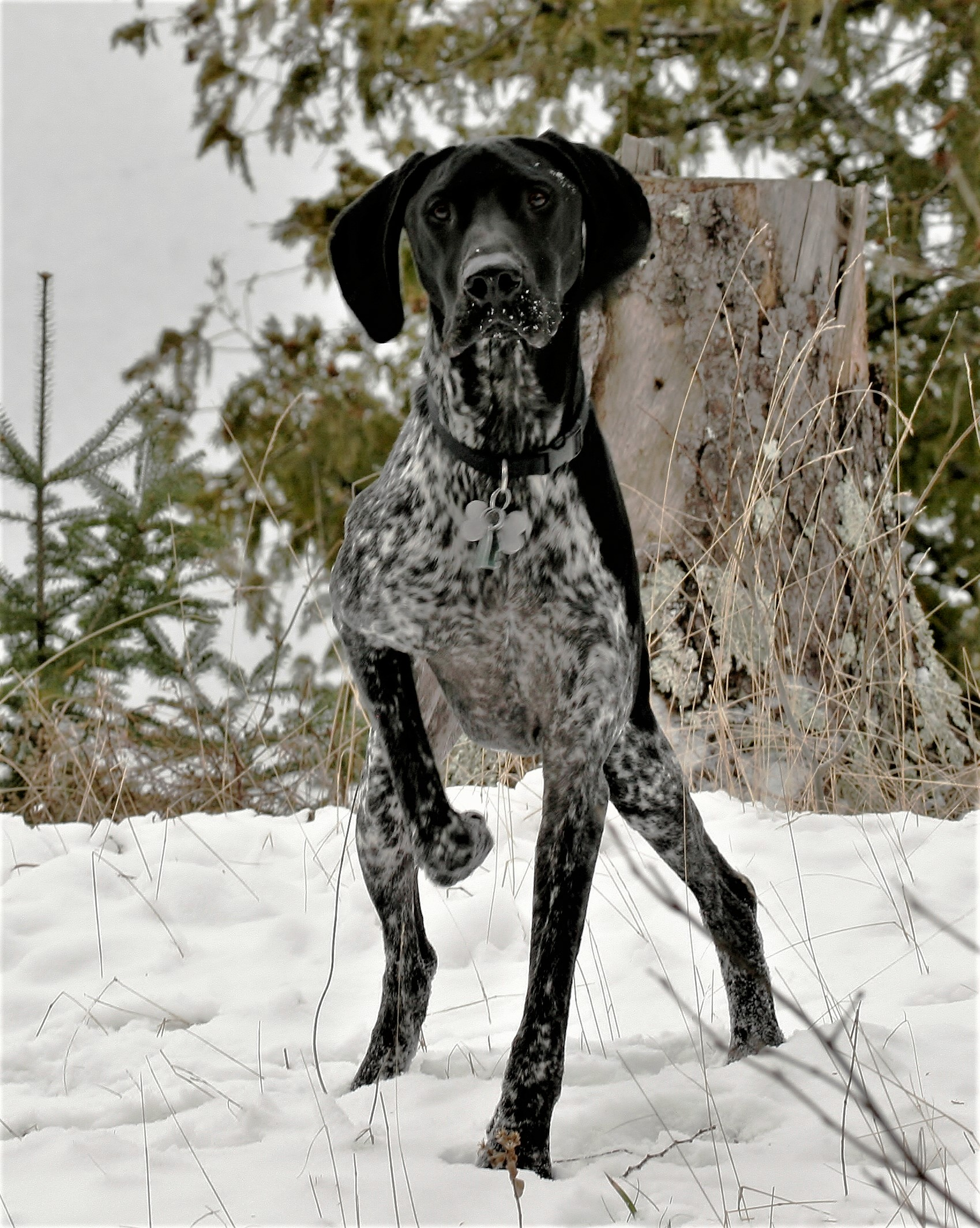 German shorthair dog in snow