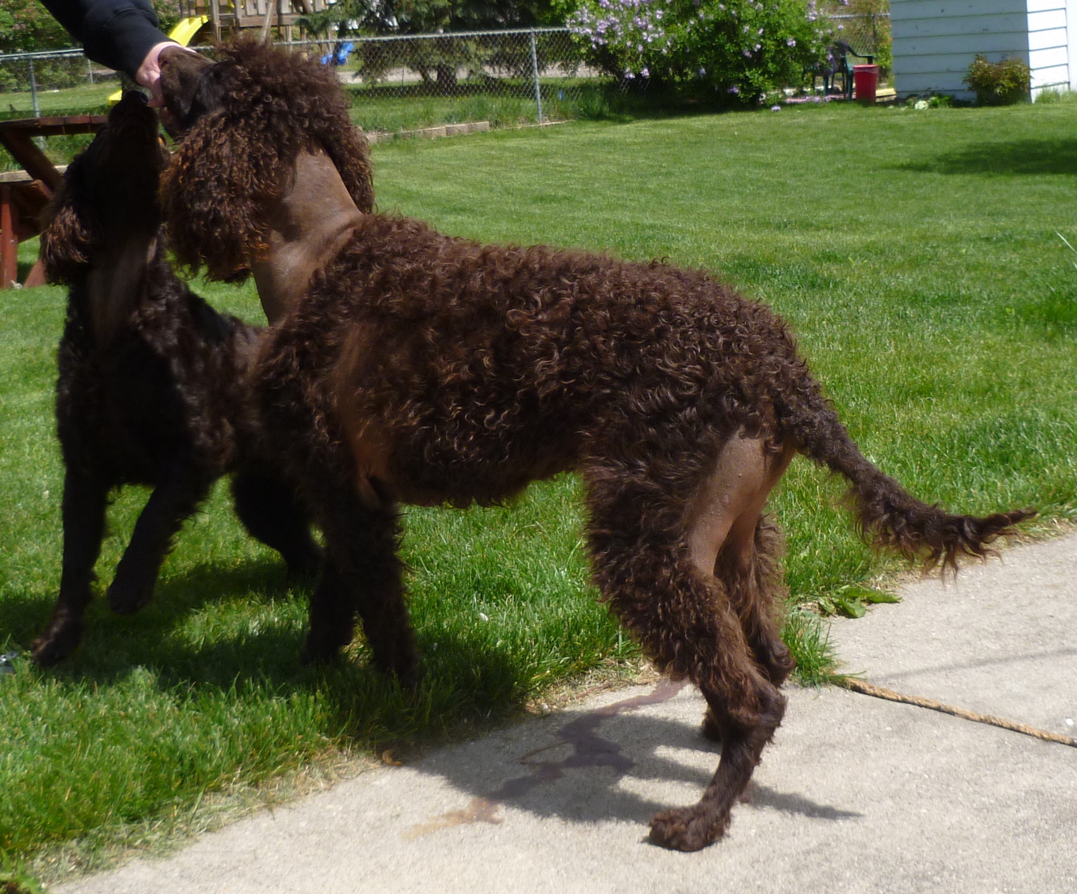 Rear View Alopecia American Water Spaniel