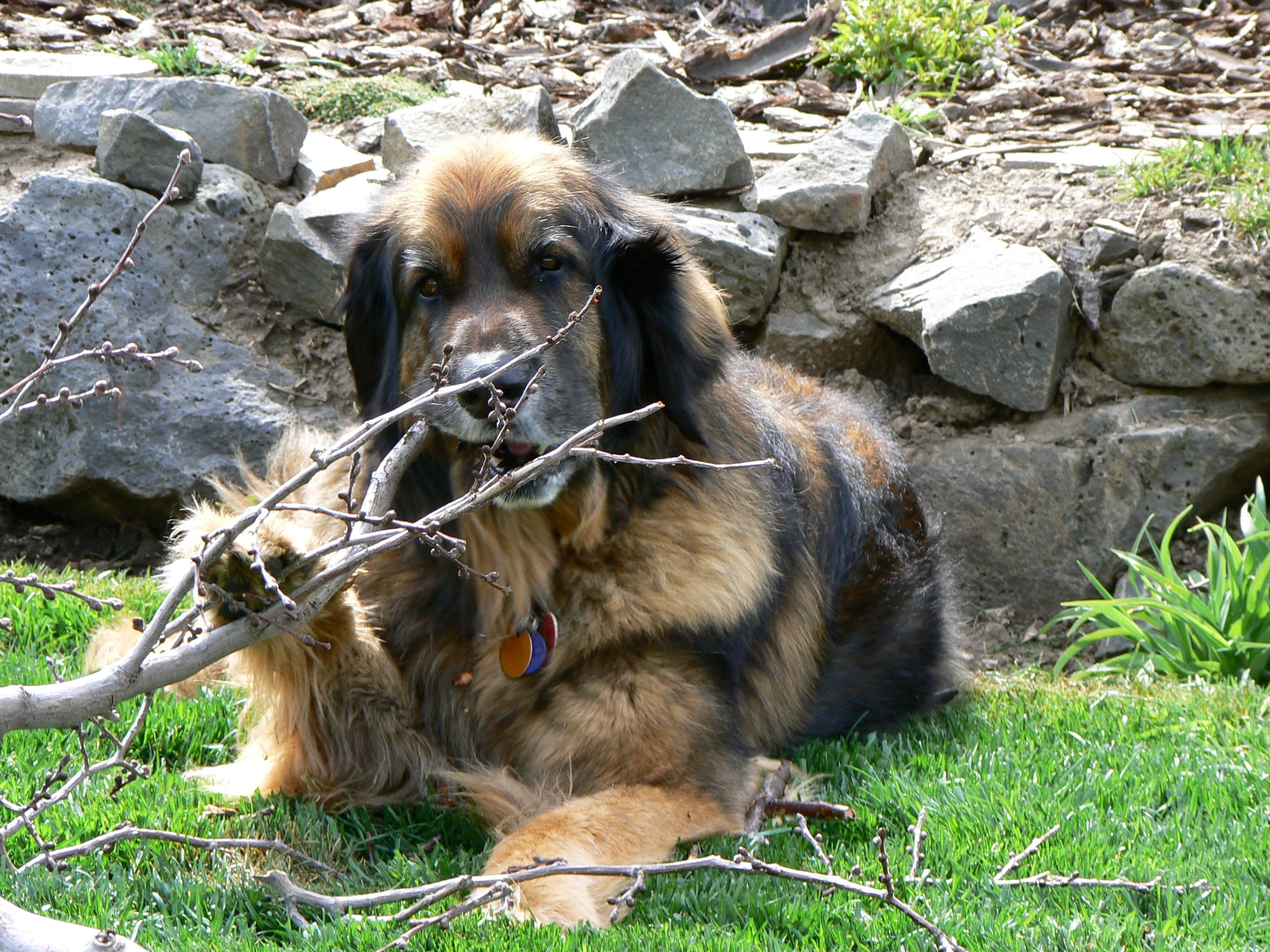 Leonberger Chewing on a Stick