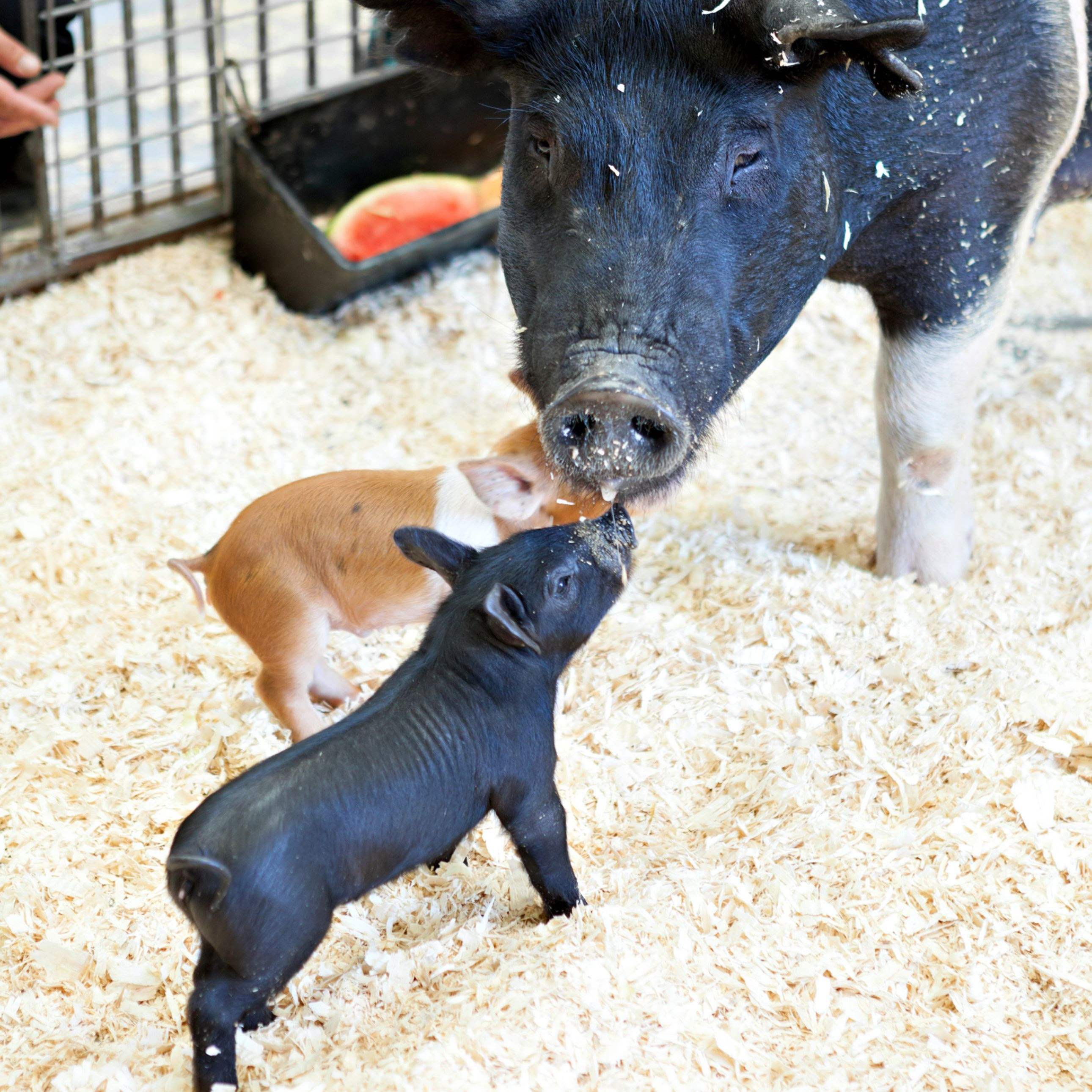 Mother Pig and Piglets