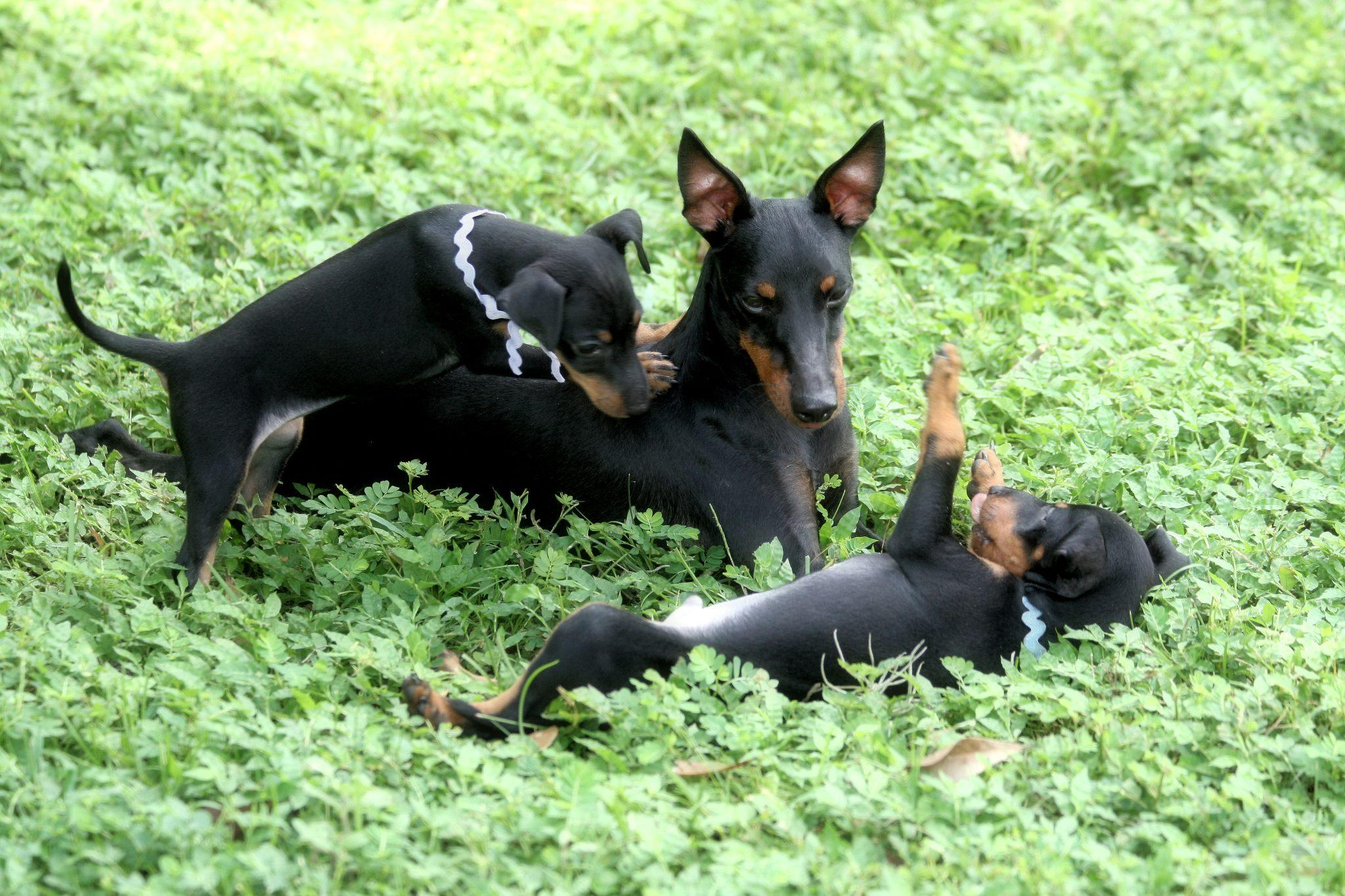 Three Toy Manchester Terriers