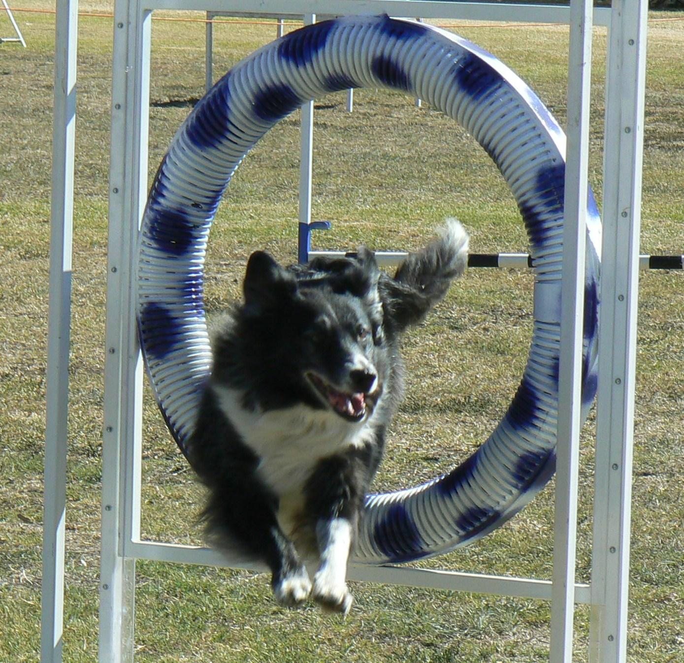 Border Collie Jumping Through Hoop
