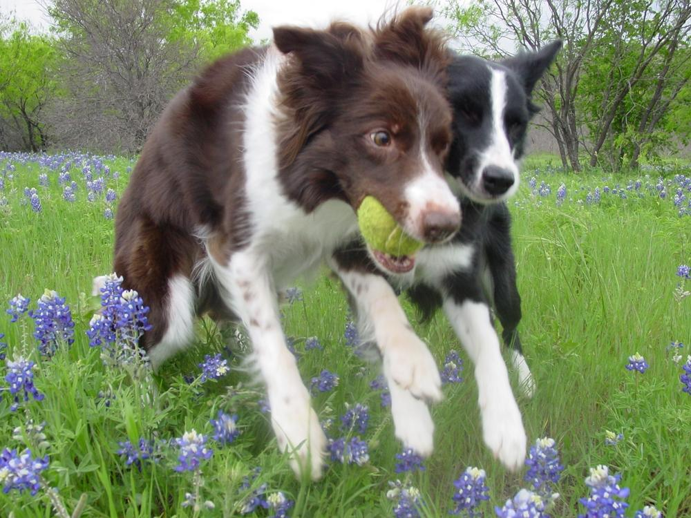 Border Collies with tennis ball