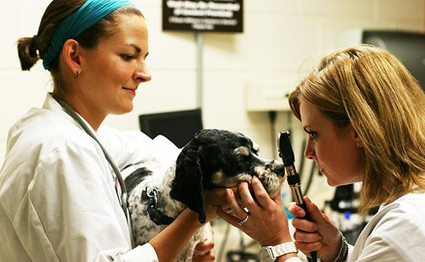 Two DVM students performing an eye exam on dog.