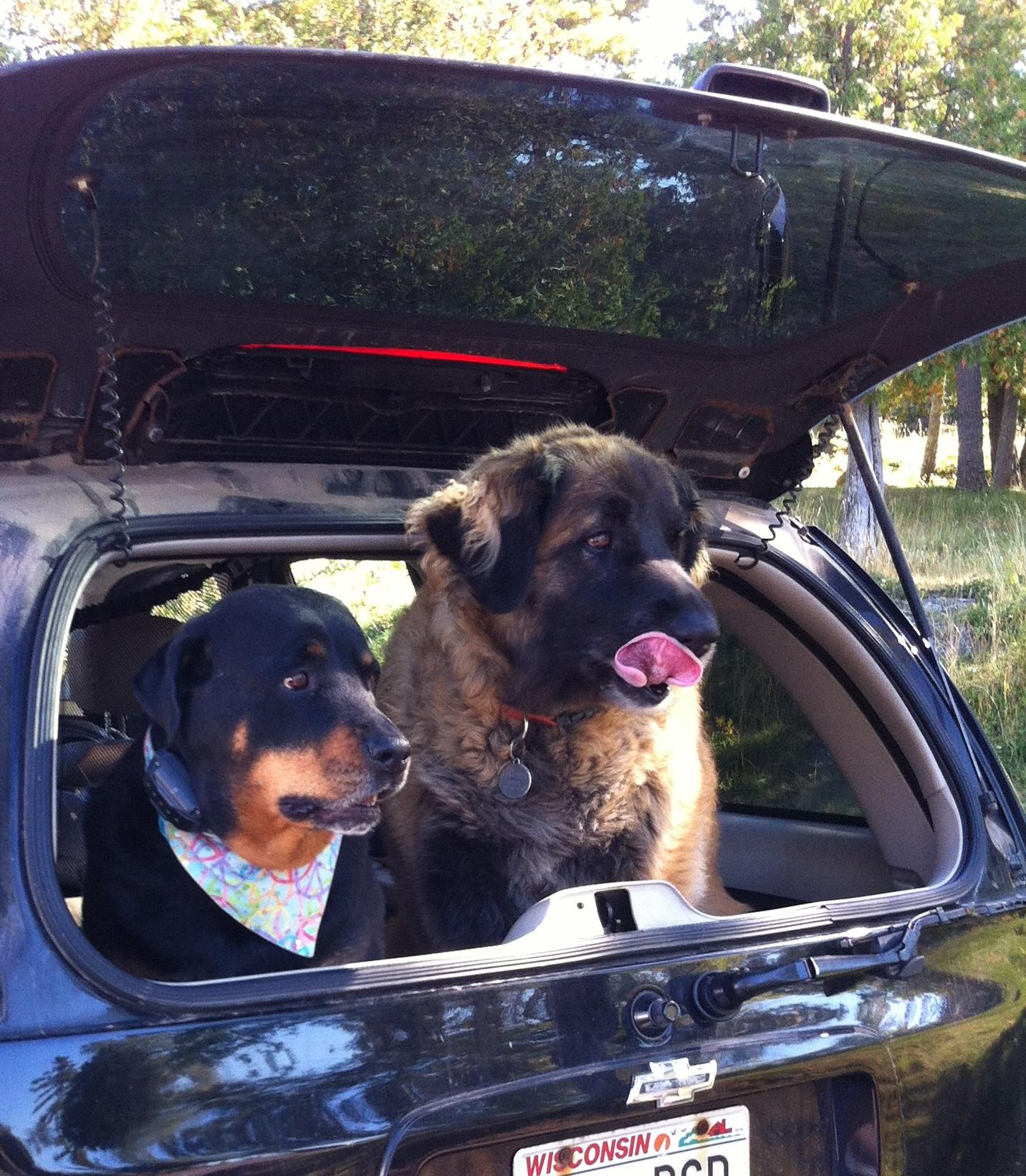 Rottweiler and Leonberger in trunk