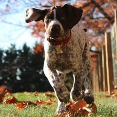 Pointer puppy running
