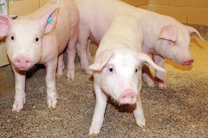 Swine Program Pigs
