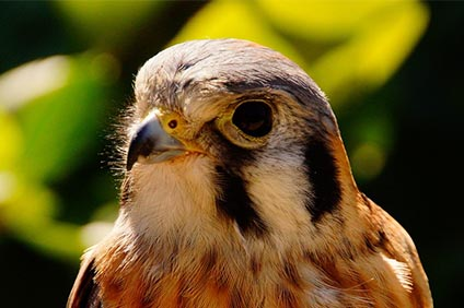 Darner the American Kestrel